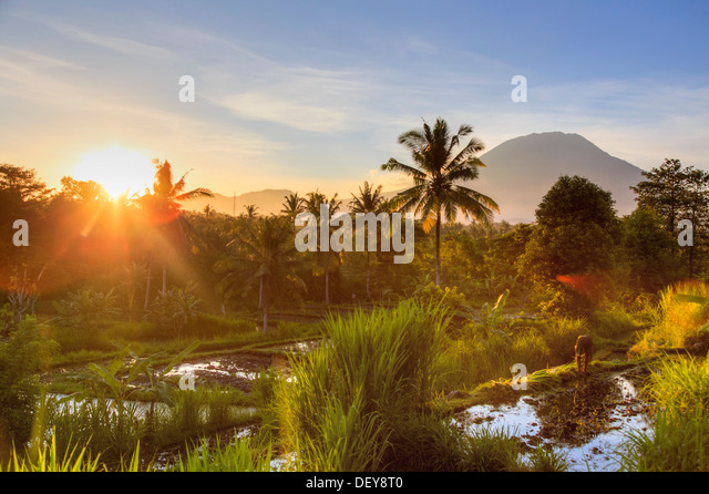 Indonesia, Bali, East Bali, Amlapura, Rice Fields and Gunung Agung Volcano - Stock Image