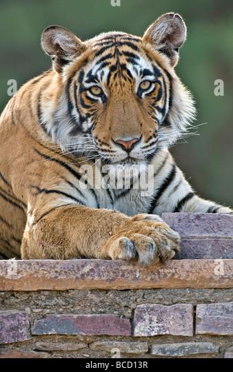 BENGAL TIGER (Panthera tigris tigris) female on old temple. India - Stock Image