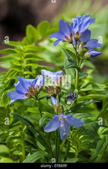 Jacob's Ladder / Greek valerian (Polemonium caeruleum) in flower - Stock Image