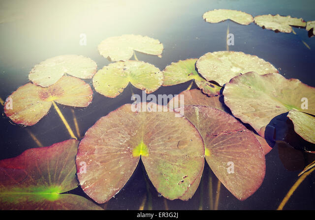 Vintage toned water lilies, nature background, shallow depth of field. - Stock-Bilder