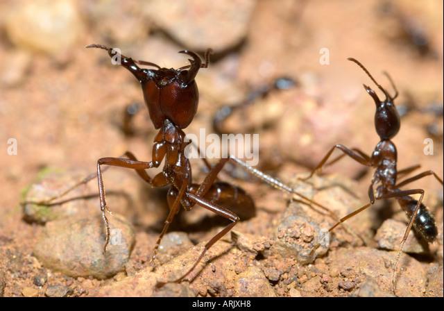 DRIVER ANT column  Dorylus sp. Uganda, eastern Africa - Stock Image