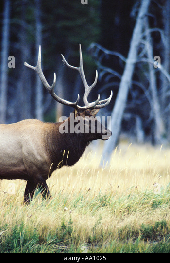 A 5X5 10 point bull elk or wapiti Cervus canadensis near Madison River Yelllowstone NP Wyoming COPYRIGHT DUANE BURLESON - Stock Image