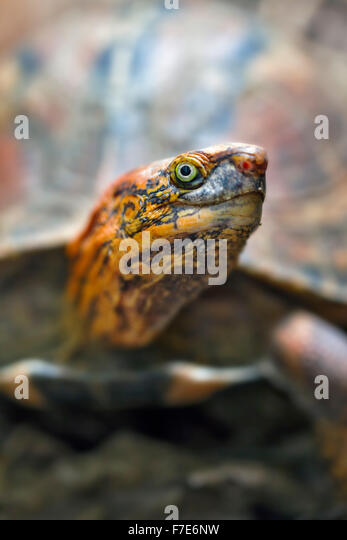The endangered Yellow-margined Box Turtle  (Cuora flavomarginata) at the Cuc Phuong Turtle Conservation Center in - Stock Image