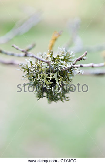 Tree lichen on a twig. Non parasitic plant like organism - Stock Image