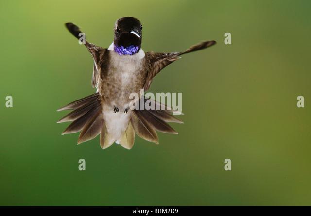 Black chinned Hummingbird Archilochus alexandri male in flight Uvalde County Hill Country Texas USA April 2006 - Stock-Bilder