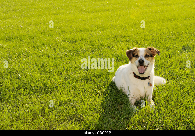 Dog on backlit field in summer - Stock Image