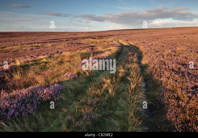 Purple summer heather as seen from High Crag Ridge near Glasshousesand  Pateley Bridge in Yorkshire - Stock Image