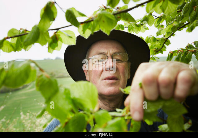 A forager with a basket reaching up to pick leaves from a tree. - Stock Image
