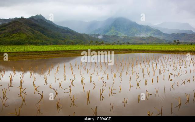 Kauai, HI: Hanalei Valley taro fields in Hanalei National Wildlife Refuge - Stock-Bilder