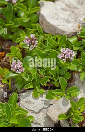 Dwarf Valerian (Valeriana supina), blooming - Stock Image