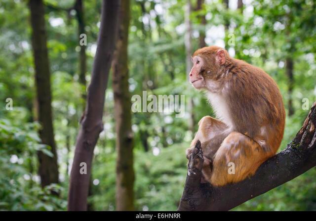 Macaque in Guiyang, China - Stock Image