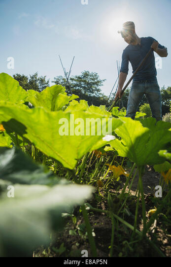 Gardener hoeing in courgette patch - Stock Image