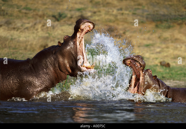 Hippopotamus fighting Botswana - Stock-Bilder