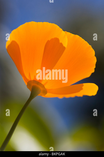 Orange Mexican Poppy blossom as seen from underneath. - Stock Image