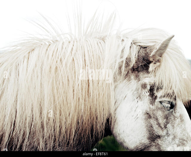 Iceland, Side view of icelandic horse - Stock Image