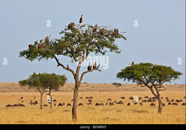 Kenya. Vultures and a  marabou stork roost in trees near a herd of wildebeest in Masai Mara National Reserve. - Stock Image