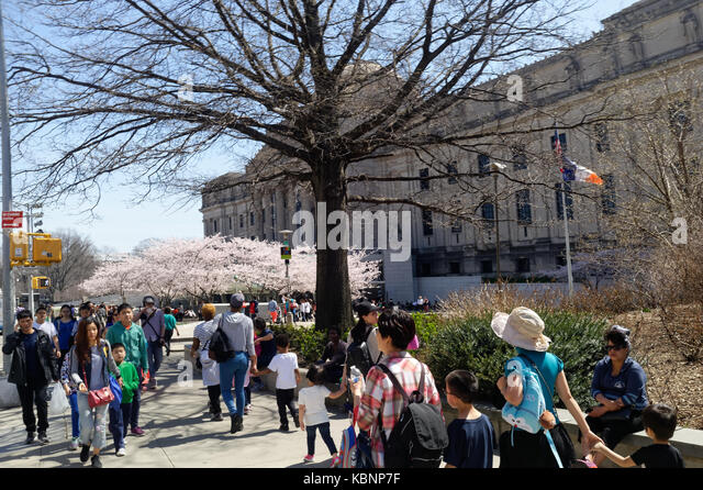visitors and tourists arriving at the Brooklyn Museum of Art on a warm Spring day with cherry blossom trees in full - Stock Image