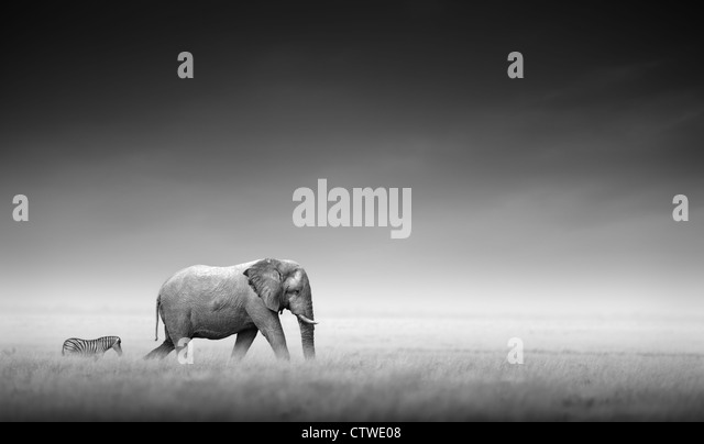 Elephant with zebra behind on open plains of Etosha - Namibia (Artistic processing) - Stock Image