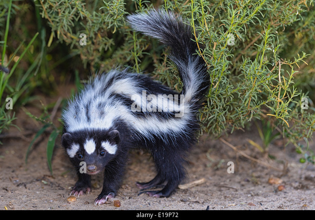 Striped polecat(Ictonyx striatus).Namibia - Stock Image