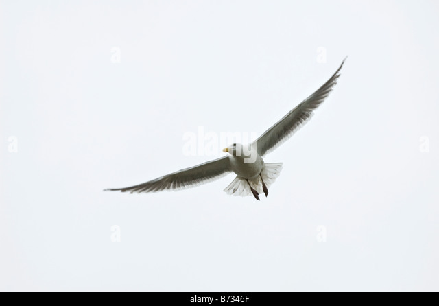 A white seagull gliding on a foggy day. - Stock Image