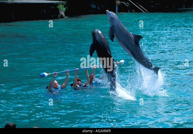 Jamaica Dolphin Cove Ocho Rios dolphin jumping, tourists - Stock Image