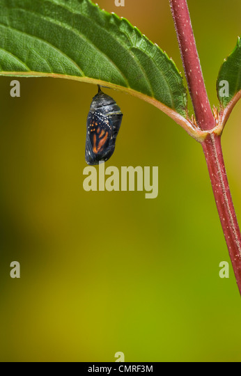 Transparent Monarch butterfly chrysalis shows glimpse of adult butterfly that will emerge. Summer, NS, Series of - Stock Image