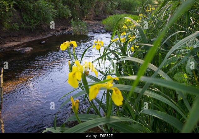 rivulet, brook, Flag Iris, Yellow Flag, Bach, Bachlauf, Bille, Gelbe Iris, Sumpf-Schwertlilie, Iris pseudacorus - Stock-Bilder