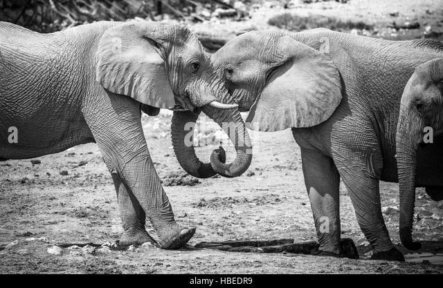 Trunks elephants stock photos trunks elephants stock for Elephant heart trunk