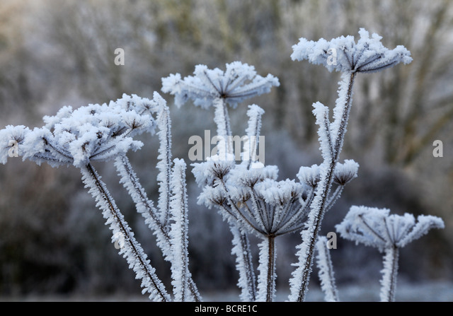 Frost covered Parsley at Minus eight degrees centigrade - Stock Image