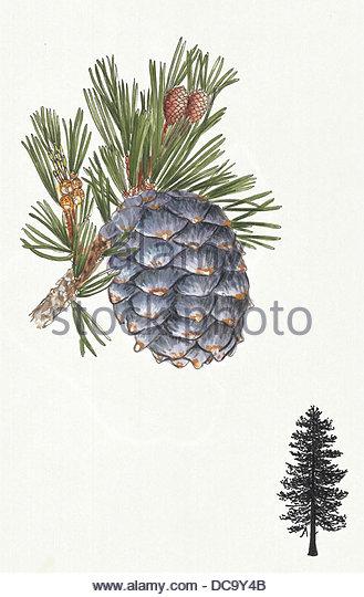 pine - Stock-Bilder