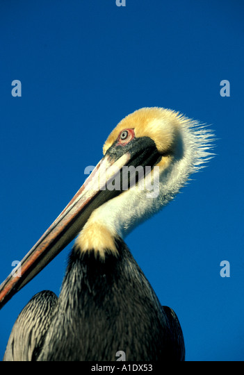Brown Pelican in Yellow Mating Colors - Stock Image