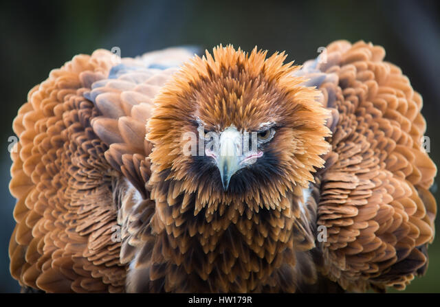 Wedge-tailed Eagle (Aquila audax) - Stock-Bilder