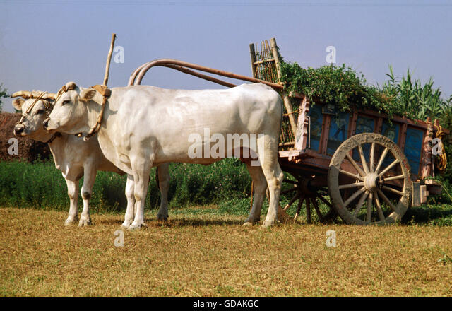 Cow Pulling Wagon : French cattle farm stock photos