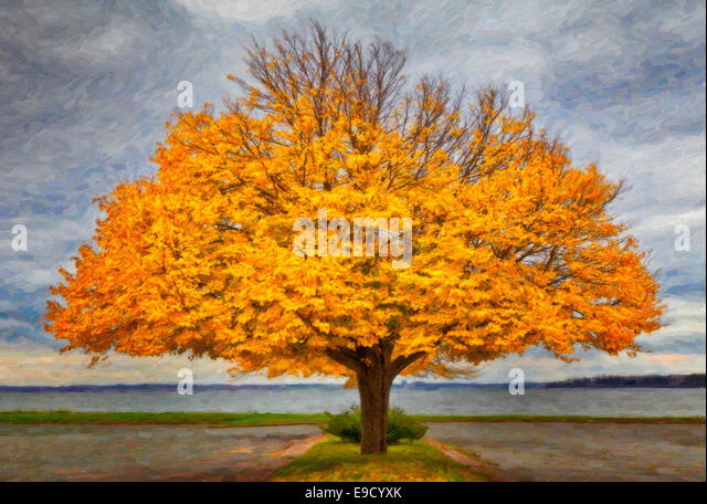 Beautiful linden tree in full fall coloration along a Prince Edward Island waterfront. Rendered as a digital oil - Stock Image