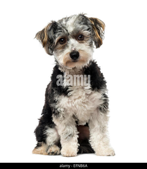 Crossbreed dog (1 year old) against white background - Stock Image
