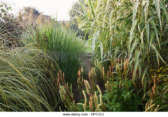 Arundo stock photos arundo stock images alamy for Small ornamental grasses for borders