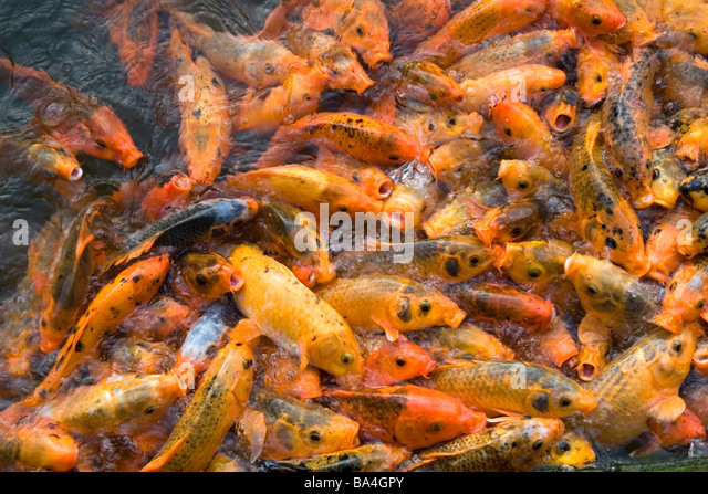 Vietnam fish stock photos vietnam fish stock images alamy for Ornamental pond fish for sale