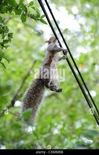 american-grey-gray-squirrel-electrocuted