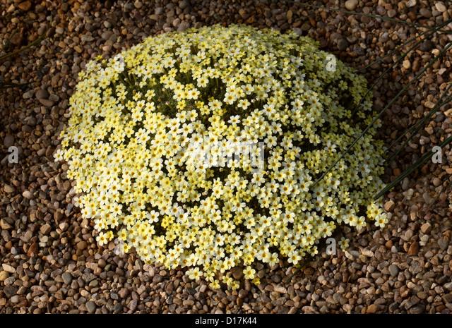 Dionysia curviflora x tapetodes, Primulaceae. Caucasus, Iran. - Stock Image