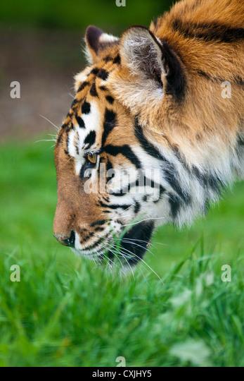 Tiger (Panthera tigris) stalking - Stock Image