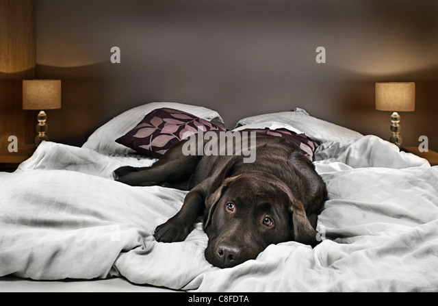 Chocolate Labrador on Bed - Looking Guilty - Stock Image