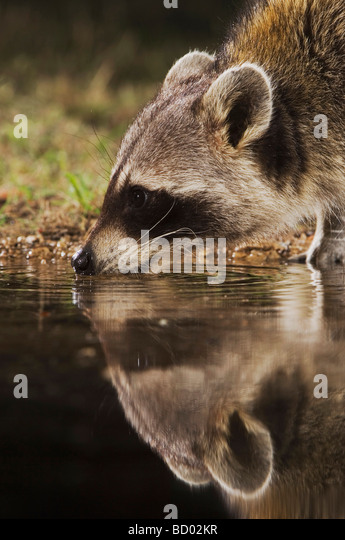 Northern Raccoon Procyon lotor adult at night drinking Uvalde County Hill Country Texas USA April 2006 - Stock Image