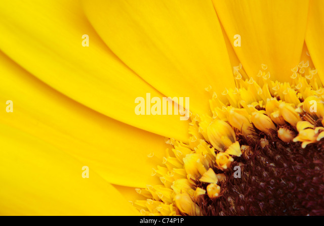 Close up of a yellow Chrysanthemum in spring - Stock Image