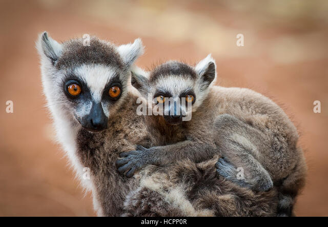 Ring-tailed Lemur (Lemur catta) mom baby close up - Stock Image