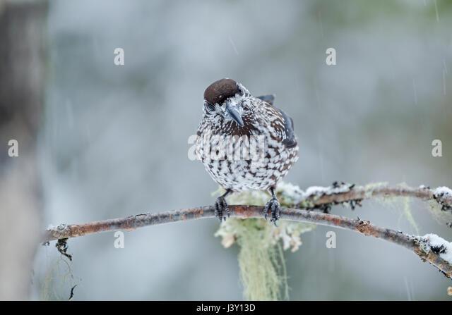 The spotted nutcracker, Eurasian nutcracker, or just nutcracker, Latin name Nucifraga caryocatactes, perched in - Stock Image