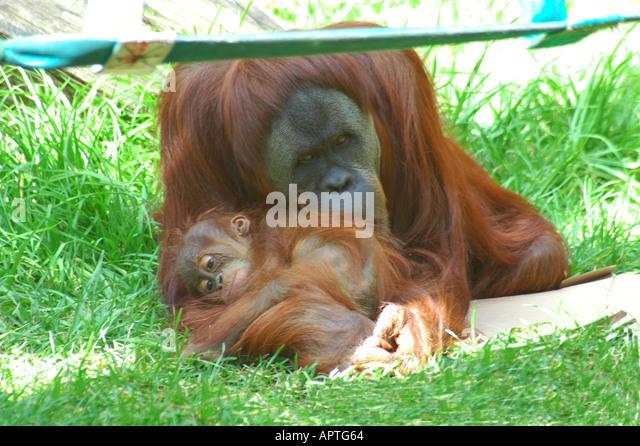 Orangutan with young - Stock-Bilder