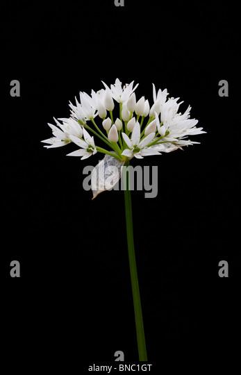 Ramson flower - Stock Image