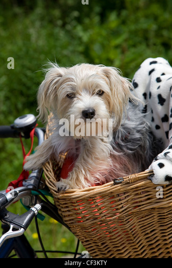 Yorkshire terrier / Yorkie (Canis lupus familiaris) going for a ride in basket on bicycle - Stock Image