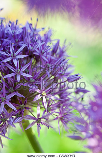 Allium 'Globemaster' flower abstract - Stock Image