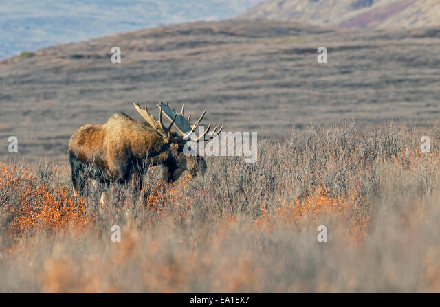 Standing as high as 2.1 m at the shoulder the Alaskan moose (Alces alces gigas) is the largest deer on the planet. - Stock Image